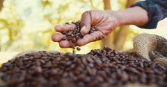 Fresh organic coffee straight from the farm's harvest - stock footage