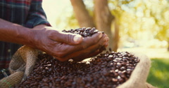 Crop of coffee beans from the farm, roasted and ready - stock footage