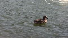 Female mallard duck swimming in pond Stock Footage