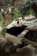 Panda bear resting Stock Photos