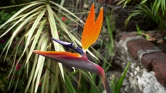 Close up of a bird of paradise flower in a botanical garden Stock Footage
