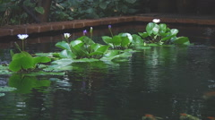 Water flowers at the Jim Thompson Museum in Bangkok, Thailand Stock Footage
