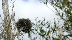 Osprey bird's nest in dead tree blows in wind, WIDE, 4K Stock Footage