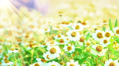 Stock Video Footage of camomile flowers and sunlight seamless loop