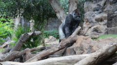 Gorilla in Zoo Stock Footage