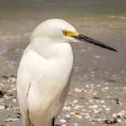 Egret at Florida Beach - stock photo