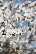 Branches of a blossoming tree with white flowers - stock photo