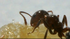 Ant macro under a microscope eating honey Stock Footage