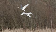Swan chasing another swan flight fight flying slow motion - stock footage
