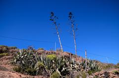 Green Agave Plant Cactus - stock photo