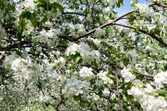 Blossoming branch Apple-tree Stock Photos
