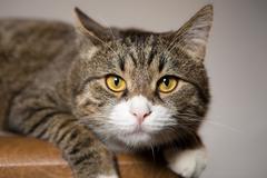 Big striped cat Stock Photos