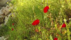 White daisies and red anemones from slider Stock Footage