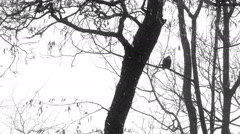 Crow on branch in the winter. Stock Footage