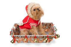The doggie Griffon Bruxellois  in a New Year's basket Stock Photos