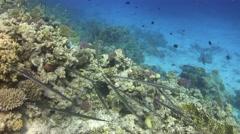 Group of cornetfish - fistulariacommersonii Stock Footage