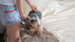 The little dog dress clothes Stock Footage