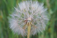 Western salsify (Tragopogon dubius Scop., Asteraceae) wishie Stock Photos