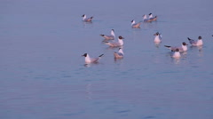 Few Gulls Float in Calm Sea Water at Sunset Stock Footage