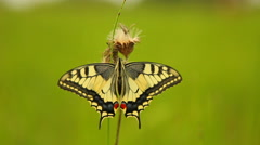 Swallowtail butterfly (Papilio machaon) Stock Footage