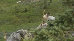 Hoary Marmot on Mount Rainer - stock photo