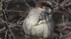 SALE! Male House Sparrow Closeup - Small Tiny Cute Bird Stock Footage