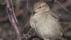Female House Sparrow Extreme Closeup 4k Stock Footage