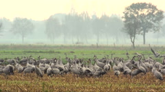 Common Cranes (Grus Grus) standing in a field Stock Footage
