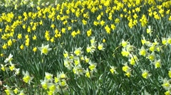 host of daffodils swaying in breeze spring sunshine - stock footage