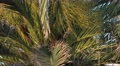 4k Palm tree with seeds close up Madeira Footage