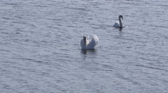 Two Swans Swimming on the Ocean (Medium wide shot) Stock Footage