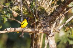 A Black-hooded Oriole perched on a tree branch Stock Photos
