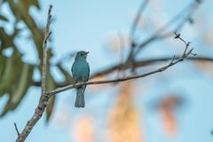 Verditer Flycatcher perching on a branch - stock photo