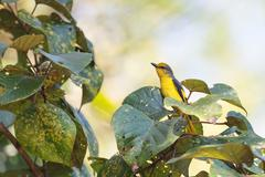 A female of Scarlet Minivet perching on a branch Stock Photos