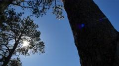 Huge trees Stock Footage