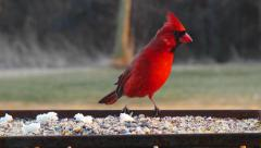 Bright Red Female and Male Cardinal Birds Eating Bird Seed Stock Footage