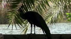 Peafowl (Phasianidae) (Peacock) - 10 Stock Footage