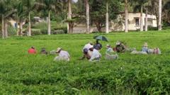 People harvest fresh tea leafs at the tea plantation in Bois Cheri, Mauritius. Stock Footage