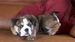 English Bulldog puppy - lying down on sofa. Stock Footage