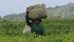 Woman harvests fresh tea leafs at the tea plantation in Bois Cheri, Mauritius. Stock Footage