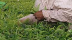 Women harvest fresh tea leafs at the tea plantation in Bois Cheri, Mauritius. Stock Footage