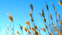 Pampas grasses swaying gently in wind and sunset dusk sunlight - stock footage