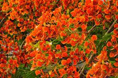 Flamboyant or Delonix Regia in a tropical garden - stock photo