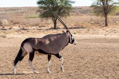 Gemsbok, Oryx gazella Stock Photos