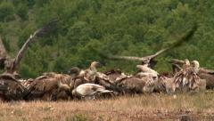 Egyptian Vulture In Group of  Griffon Vultures Stock Footage