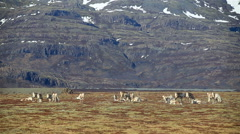 Wild reindeer herd grazing on Icelandic Tundra, mountains in background Stock Footage
