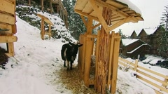 Sheep and goats in the winter are in the snow and looking at the camera Stock Footage