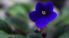 African Violet or Saintpaulia Ionantha Stock Footage
