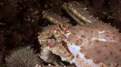 King Crab in search of food on the seabed. Barents sea. - stock footage