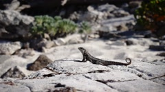 Lizard on a rock close up Stock Footage